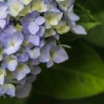 あじさいの鉢植えがしおれる原因と復活させる方法は?