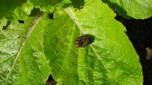 白菜についた虫を一瞬で取る方法